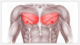 Большая грудная мышца