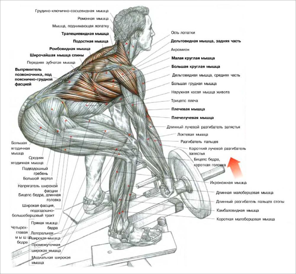Широчайшая мышца спины в домашних условиях