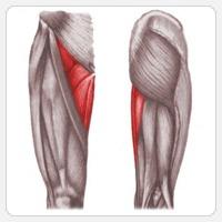 Приводящие мышцы