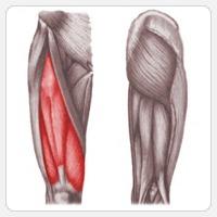 Четырехглавые мышцы бедра