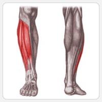 берцовые мышцы