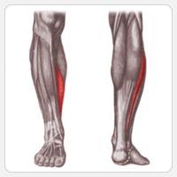 камбаловидные мышцы
