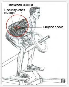 Во время тяги т-образного грифа также задействуются мышцы сгибатели предплечий