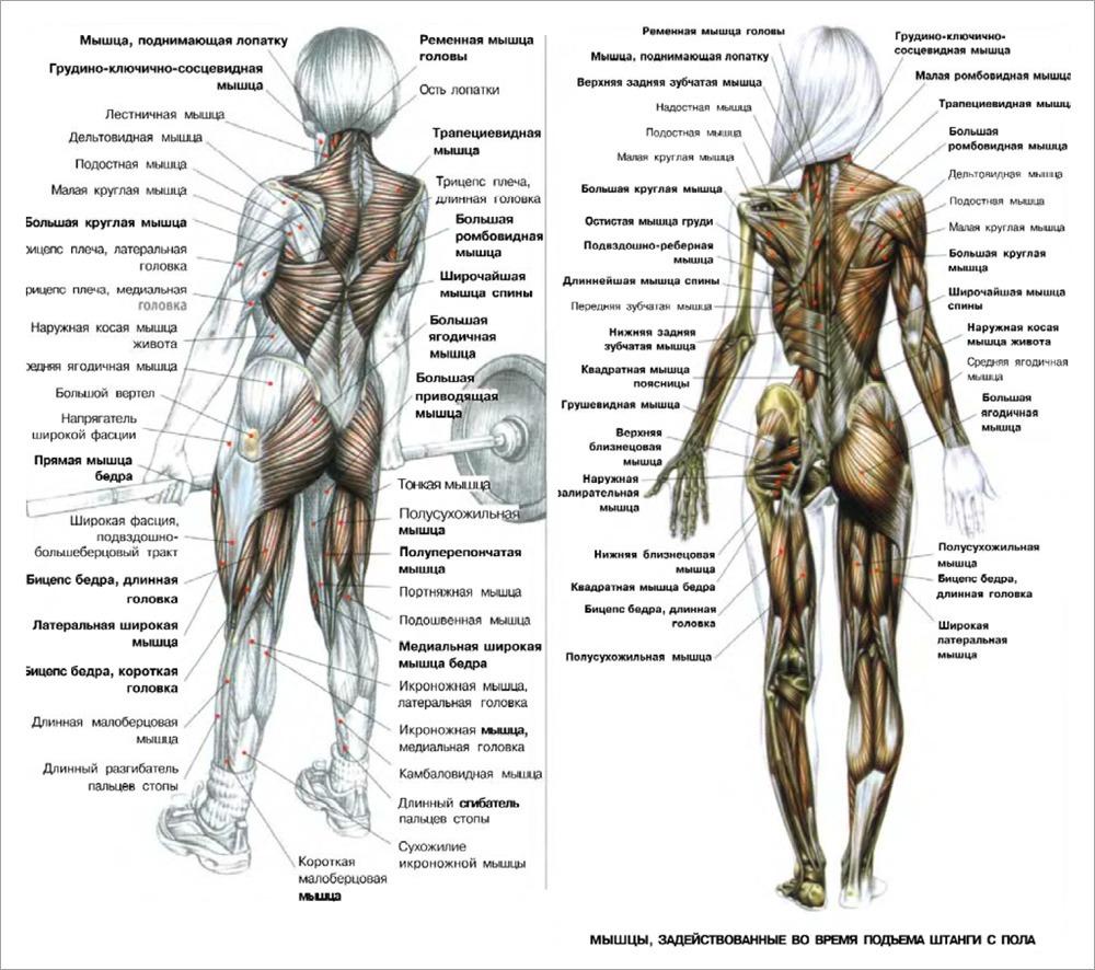 Мышцы, задействованные во время подъема штанги с пола