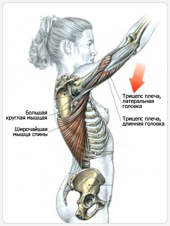 Тяги верхнего блока прямыми руками - мышцы, участвующие в упражнении